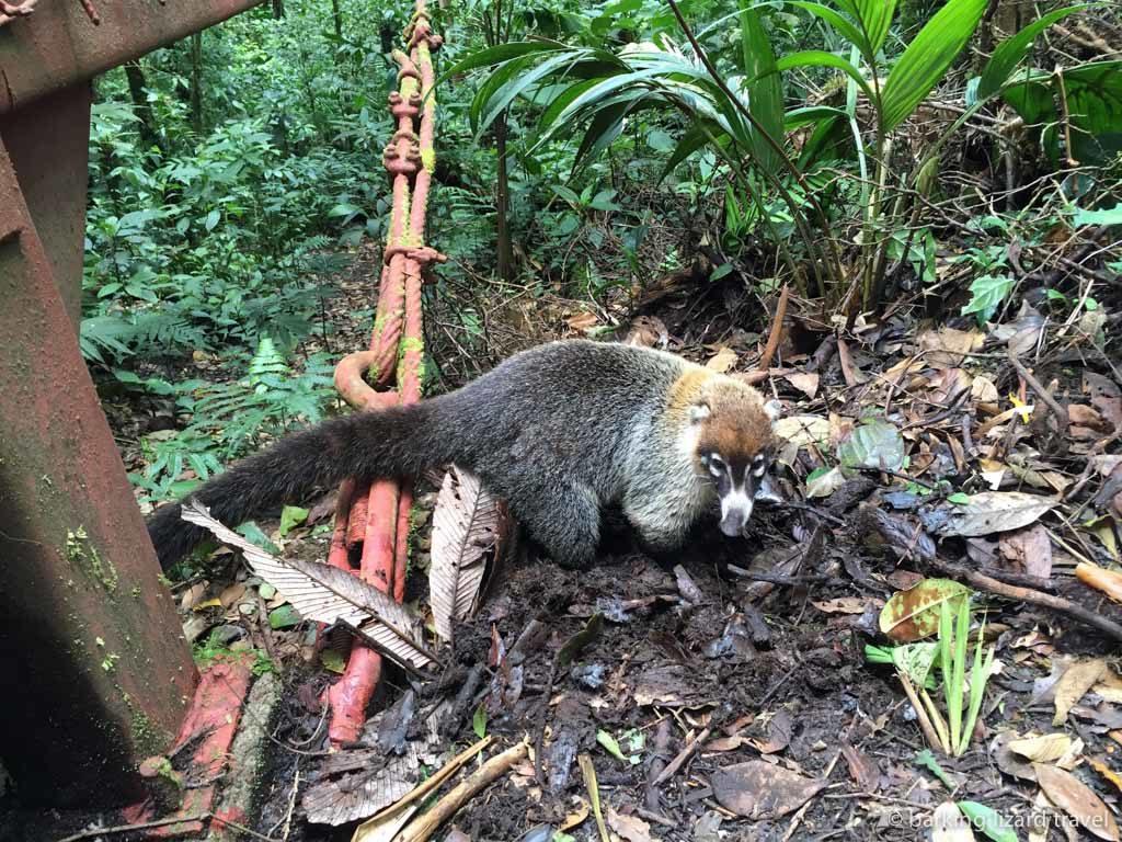 A coati in the monteverde cloud forest costa rica