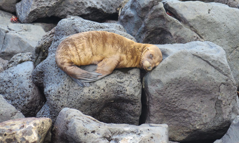 Photo of a baby sea lion sleeping on the rocks in san cristobal