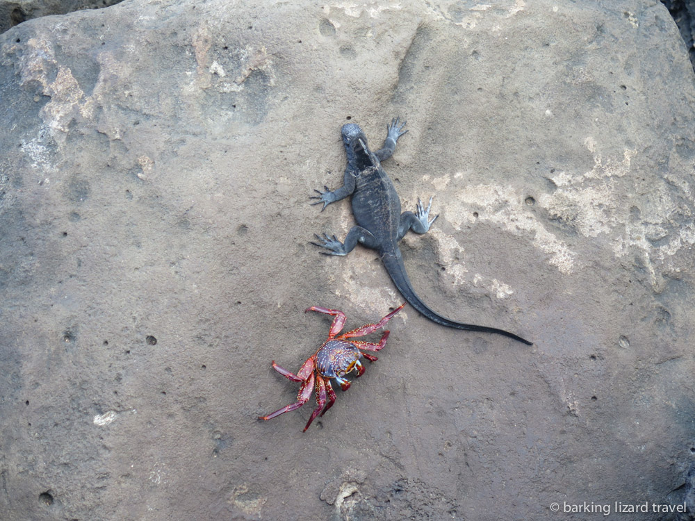 photo of a sally lightfoot crab and marine iguana on the rocks in san cristobal