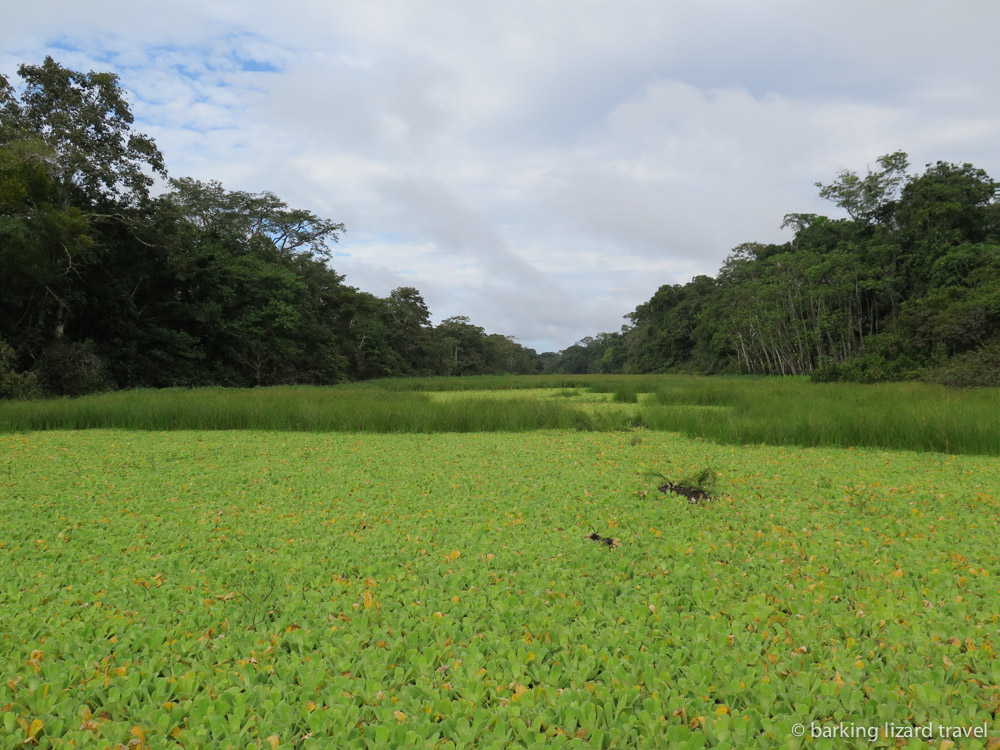 photo of an amazon tributary covered in aquatic plants